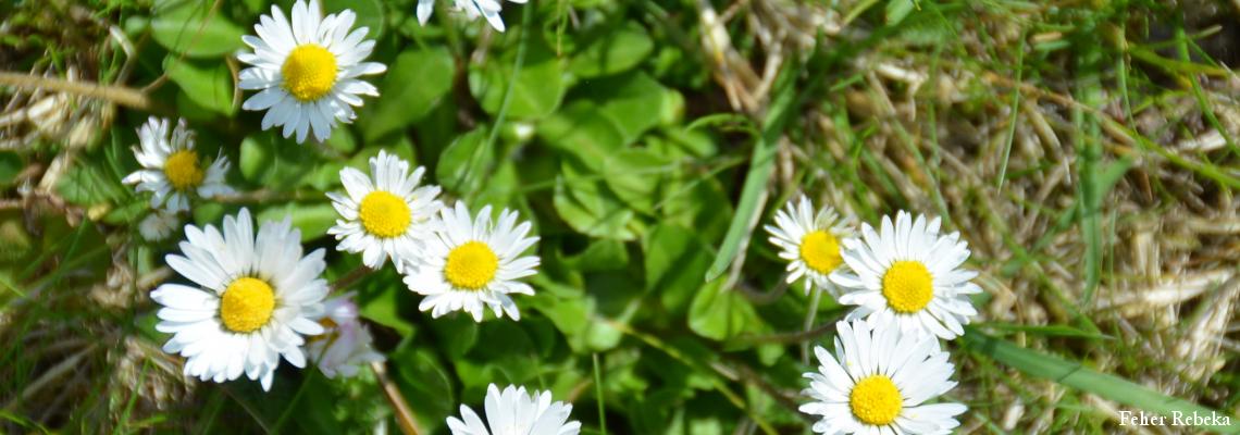 tavasz - marjetice