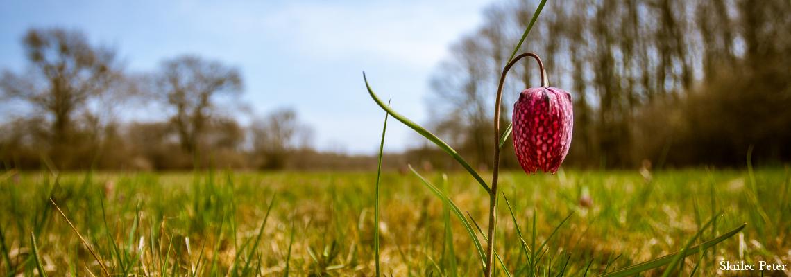 tavasz-močvirski tulipan