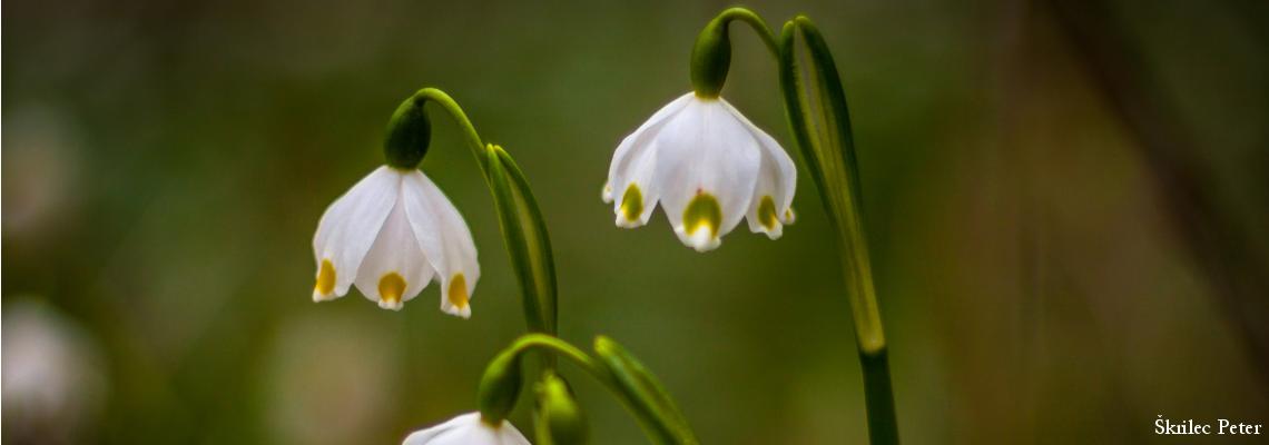 tavasz-tőzike